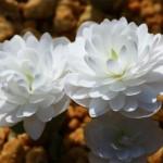 八重咲きカナダケシ